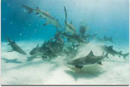 shark-feeding-frenzy.jpg